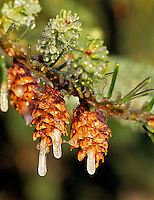 Douglas Fir cones with ice. Monroe, Oregon.