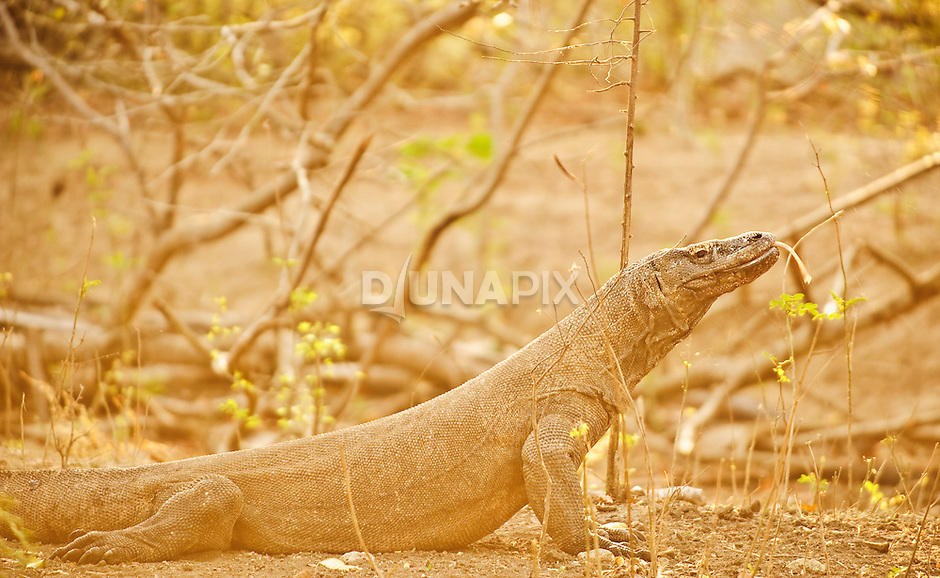Komodo dragon at dawn. Now almost entirely restricted to Komodo and Rinca islands, dragons were widespread across Flores in hobbit times. One species grew half again as long as today's  modern giants.