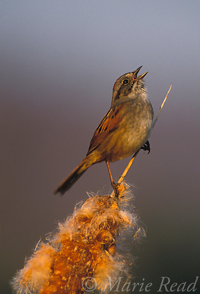 Swamp Sparrow (Melospiza georgiana) singing from a cattail seedhead, New York, USA<br /> Slide B164-102