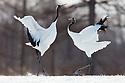 Japan, Hokkaido, red-crowned cranes dancing