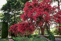 Leptospermum scoparium 'Ruby Glow' (Tea Tree) blooming in garden.