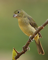 Crown, nape, and back rather bright olive-green. Throat, chest, and belly yellow-green. Head may show some blue feathers.