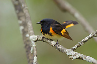 Adult male American Redstart (Setophaga ruticilla) in breeding plumage. St. Lawrence County, New York. May