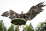 Bald eagle Sukai lands on a perch durring the Wild Life Live show at The Oregon Zoo. © Oregon Zoo / Photo by Carli Davidson