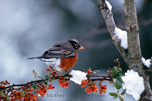 Robin, Turdus migratorius, perches on branch of snowy pyracantha berries in winter, Midwest USA