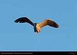 Black-crowned Night Heron, Sunset Flight (head-on), Sepulveda Wildlife Refuge, Southern California