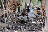 During breeding season, female saltwater crocodiles protect and guard their nesting area heavily against other females; they will also prevent unwanted males from entering their territory during this time...