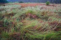 Sawgrass, Cladium jamaicense, Corkscrew Swamp Sanctuary, Naples, Florida