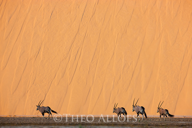Namibia;  Namib Desert, Skeleton Coast oryx antelopes (Oryx gazella)in river bed in front of large red sand dune