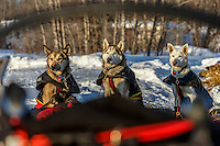 Kristi Berington's dogs Bozo, Nicholas and Little-Bit pay attention to Kristi as they rest in the evening at the Galena checkpoint on Thursday March 12, 2015 during Iditarod 2015.  <br /> <br /> (C) Jeff Schultz/SchultzPhoto.com - ALL RIGHTS RESERVED<br />  DUPLICATION  PROHIBITED  WITHOUT  PERMISSION