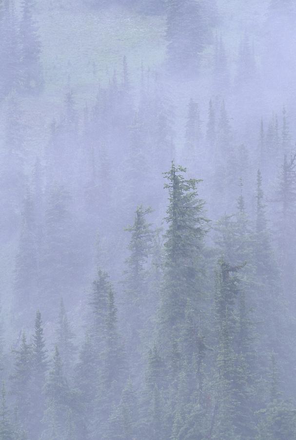 Trees in Fog, Harts Pass, North Cascades, Washington