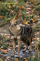 MA27-014z  Eastern Coyote - Canis latrans