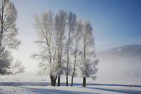 Cottonwood tree (Populus sp.) frost covered, Lamar Valley, Yellowstone National Park, Wyoming, USA