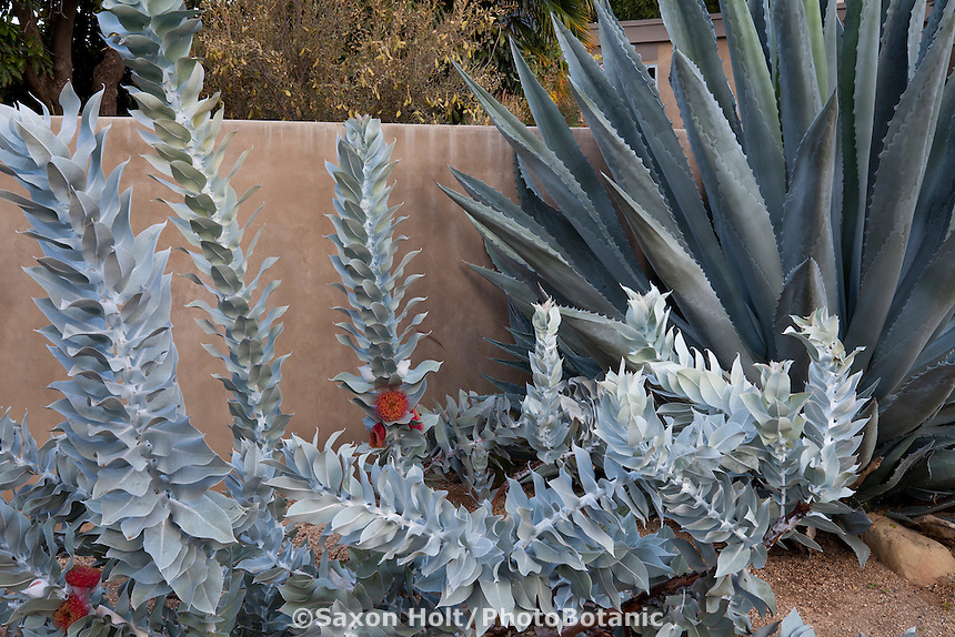 Eucalyptus macrocarpa, silver gray foliage in California summer-dry garden with Agave; design Jo O'Connell