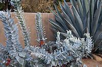 Eucalyptus macrocarpa, silver gray foliage in California summer-dry garden with Agave; design Jo O'Connell