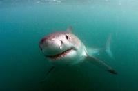 GREAT WHITE SHARK Carcharodon carcharias SOUTH AFRICA. death Carcharodon carcharias predator dangerous menacing deadly hazardous cartilaginous horizontal underwater surface head nose sharks underwater fear scary attack aggressive vulnerable
