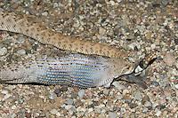 A Western Diamondback Rattlesnake (Crotalus atrox) eating a female Gambel's Quail (Callipepla gambelii)