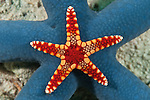 A small necklace sea star (Fromia monilis) on a bigger blue sea star (Linckia laevigata)