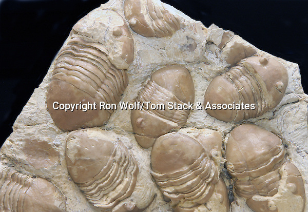 Trilobite (Homotelus bromidensis). Found in the Bromide Formation. Middle Ordovician period, about 465 million years ago. Criner Hills, Carter County Oklahoma (Collection of the Colorado School of Mines Geology Museum. Golden, Colo.)