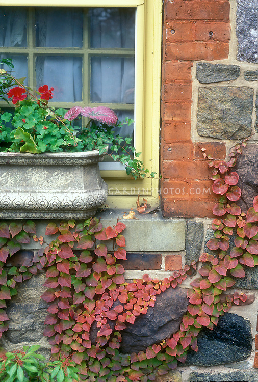 Parthenocissus vine climbing brick and stone house wall, with concrete windowbox