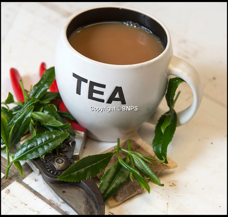 BNPS.co.uk (01202 558833)<br /> Pic: PhilYeomans/BNPS<br /> <br /> <br /> Camellia sinensis is the tea making variety.<br /> <br /> Food miles craze reaches the traditional British cuppa...<br /> <br /> More and more Brits are growing tea in their own gardens in the quest for the ultimate  'homegrown' cuppa.<br /> <br /> With the 'grow your own' movement still in full swing, sales of Camellia sinensis - the common tea plant - are rocketing as gardeners realise it thrives in the UK's climate.<br /> <br /> Contrary to popular belief, tea plants don't require heat and humidity to grow, rather preferring temperate regions with plenty of moisture.<br /> <br /> The UK already boasts two tea plantations - one in Cornwall and the other in the Scottish Highlands - with a third planned for Northern Ireland.<br /> <br /> But now domestic gardeners are catching on to the idea of an on-demand supply of tea from their back gardens, and creating their own 'mini plantations' at home.<br /> <br /> And just like in traditional tea-growing countries like China and Africa, the young leaves of UK-grown plants can be picked in spring and used straight away to make green tea or dried to make regular black tea.