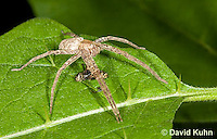 0113-1001  Nursery Web Spider Standing Over Recently Consumed Prey, Pisaurina mira  © David Kuhn/Dwight Kuhn Photography