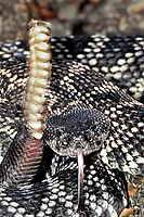 467509013 a wild southern pacific rattlesnake crotalus viridis coils as if to strike while vibrating its rattles on a hillside at a wildlfie rescue facillity