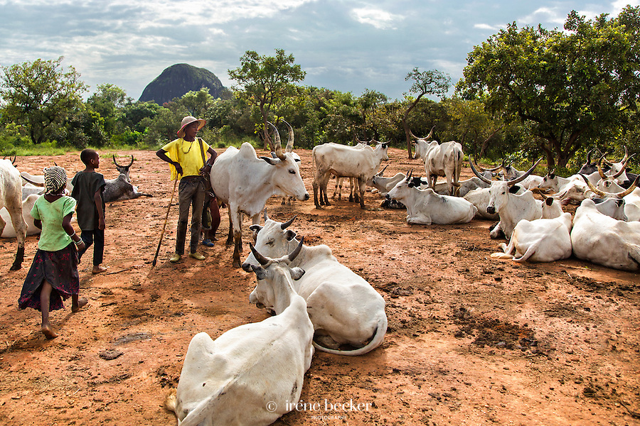 Cattle resting  in the morning. Kajuru, Kaduna State, Nigeria.