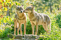 Two European Gray wolves (Canis lupus) sniffing each other, captive, France, Europe