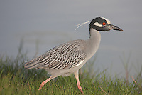 Yellow-crowned Night-heron (Nyctanassa violacea) stalking prey