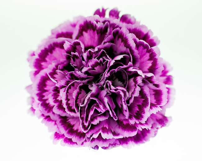 Close-up macro of a purple carnation