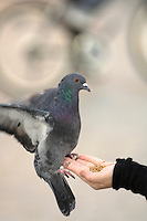 Poland, Krakow, Pigeon landing on woman's hand