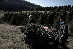 "November 23, 2008. Ashe County, NC.. The Christmas tree industry in Ashe County..At the Miller's Christmas Tree Farm, 360.982.3088, Highway 16 N.. Jack Miller, left, carries a cut a tree for a customer in the ""Choose and Cut"" section of his tree farm.. His father used the land for cattle ranching, but when the bottom dropped out of that industry, the land was turned over to the X-Mas tree industry. . Mr. Miller says he gets about 1500 trees/acre and they ideally grow for 8 years before being cut. 9 or 10 years is the maximum time for a tree to grow before they grow together and get flat sides which makes them unsellable."