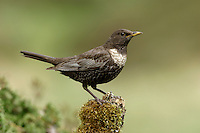 Ring Ouzel Turdus torquatus L 25-26cm. Upland counterpart of Blackbird. Typically alert and wary. Sexes are dissimilar. Adult male has mainly black plumage with striking white crescent on breast and pale fringes to wing feathers. Legs are dark, bill is yellowish, and feathers on underparts have pale fringes. Adult female is similar but dark elements of plumage are browner and pale crescent on breast is grubby white. 1st winter birds look rather dark with pale feather fringes all over and hint of adult's pale crescent on breast. Voice Utters a harsh tchuck alarm call. Song comprises short bursts of fluty phrases. Status Local summer visitor to rugged moorland and lower mountain slopes.