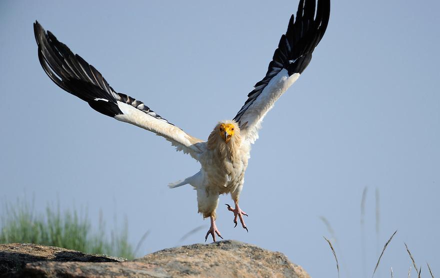 Egyptian vulture, Neophron percnopterus, Faia Brava reserve, C&ocirc;a valley,<br /> Portugal