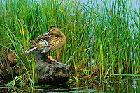 559000307 two wild mallard ducks anas platyrynchos perch on a large stump while one preens and one sleeps on potters marsh south of anchorage alaska