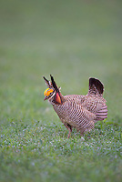 572110246 a wild lesser prairie chicken tympanuchus pallidicintus displays and struts on a lek on a remote ranch near canadian in the texas panhandle
