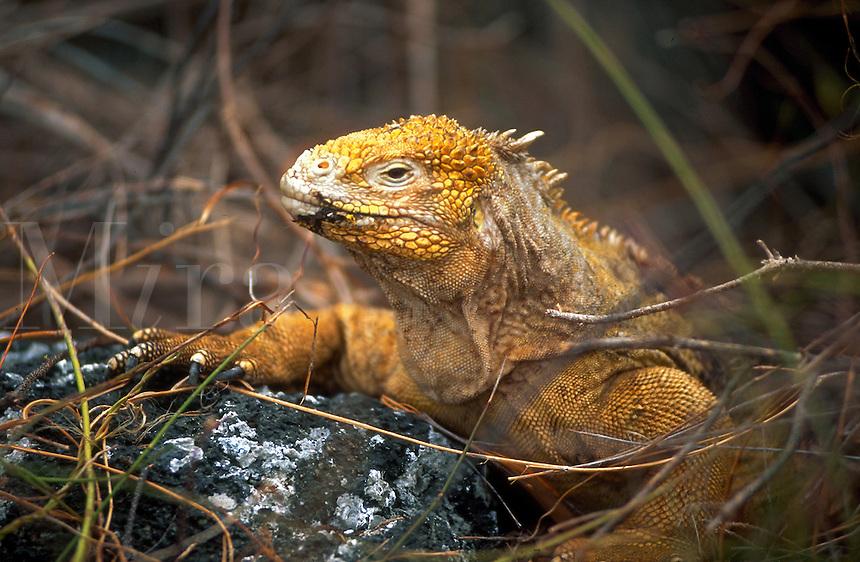 Yellow Land Iguana, Galapagos Islands, Ecuador