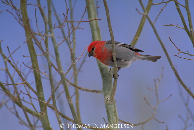 Pine grosbeak perched in a tree in Grand Teton National Park.
