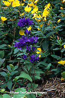 63821-03107 Sun Drops and Bellflowers (Oenothera tetragona and Campanula glomerta)   IL