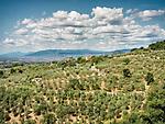 Olive orchards in the landscape near Castello di Larciano, Tuscano, Italy