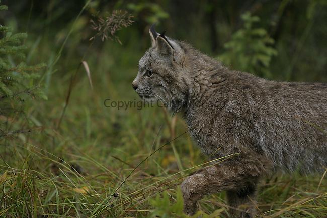 Canada Lynx walking
