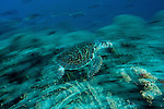 Hawksbill turtle (Eretmochelys imbricata) swimming through a reef with motion blur.