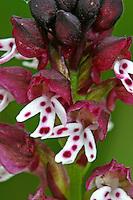 Brand-Knabenkraut, Brandknabenkraut, Brandorchis, Brand-Orchis, Orchis ustulata, Neotinea ustulata, Orchis ustulata aestivalis, Neotinea ustulata aestivalis, Burnt orchid, burnt-tip orchid, Burnt tip orchid