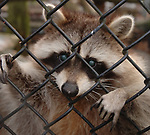 """HOLTSVILLE,NY- WEDNESDAY, DECEMBER 19, 2007: """"Rosie Bear"""" a raccoon that was raised as a pet and is unreturnable to the wild, climbs the fence of her enclosure to look a visitor in the eye at the Harold H. Malkmes Ecology and Wildlife Center at Holtsville Park in Holtsville. Newsday / Jim Peppler"""
