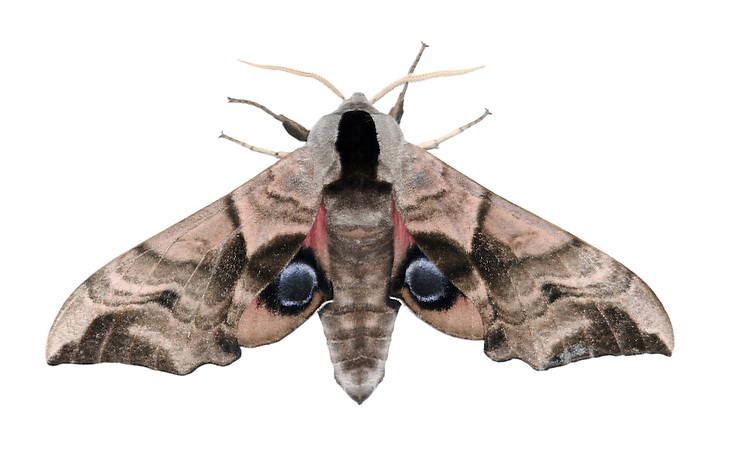 Eyed Hawk-moth Smerinthus ocellatus Wingspan 80mm. An aptly named moth with bold and striking 'eye' markings on the hindwings. These are exposed (as a deterrent to predators) only when moth is startled and hidden by the forewings when resting. Adult has marbled grey-brown forewings. Flies May–July. Larva is bright green with a pale diagonal stripe on each segment and a 'horn' at the tail end. Feeds on willows and apple. Common only in southern and central Britain.