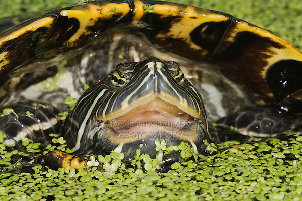 Red-eared Slider (Trachemys scripta elegans), Sinton, Corpus Christi, Coastal Bend, Texas, USA