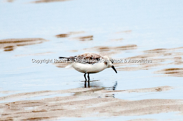 Sanderling feeding on sand flat, South Beach, Chatham, Massachusetts