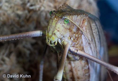 0409-1101  Giant Long-Legged Katydid, Giant Malaysian Katydid, Largest Insect in the World, Macrolyristes corporalis  © David Kuhn/Dwight Kuhn Photography