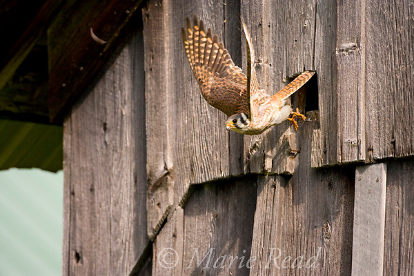 American Kestrel (Falco sparverius) female flying out of nest hole in a barn, New York, USA